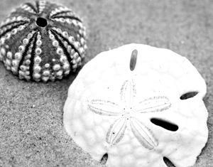Sand Dollar and Sea Urchin