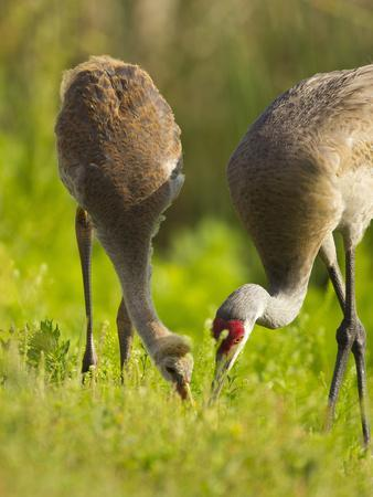 https://imgc.allpostersimages.com/img/posters/sandhill-crane-feeding-with-chick-grus-canadensis-viera-wetlands-florida-usa_u-L-PHASPM0.jpg?p=0