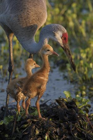 https://imgc.allpostersimages.com/img/posters/sandhill-crane-with-both-colts-on-nest-florida_u-L-Q12T52B0.jpg?p=0