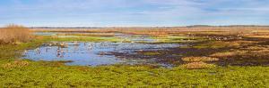 Sandhill Cranes (Antigone canadensis) in Paynes Prairie Preserve State Park, Gainesville, Florid...