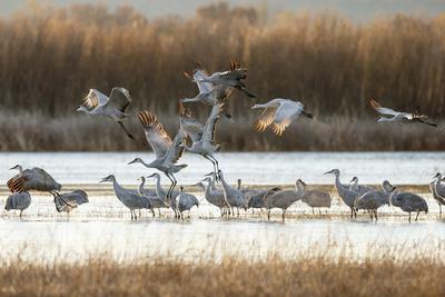 https://imgc.allpostersimages.com/img/posters/sandhill-cranes-flying-bosque-del-apache-national-wildlife-refuge-new-mexico_u-L-Q12TC8X0.jpg?p=0
