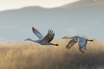 https://imgc.allpostersimages.com/img/posters/sandhill-cranes-flying-bosque-del-apache-national-wildlife-refuge-new-mexico_u-L-Q12TC9X0.jpg?p=0