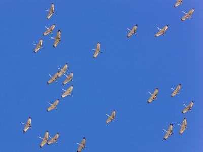 https://imgc.allpostersimages.com/img/posters/sandhill-cranes-in-flight_u-L-PZPN4A0.jpg?p=0