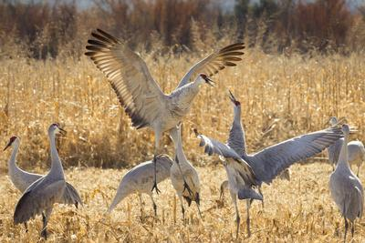 https://imgc.allpostersimages.com/img/posters/sandhill-cranes-in-the-corn-fields-bosque-del-apache-national-wildlife-refuge_u-L-Q12TC6D0.jpg?p=0