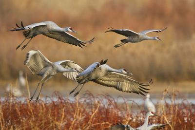 https://imgc.allpostersimages.com/img/posters/sandhill-cranes-landing-bosque-del-apache-nwr-new-mexico-usa_u-L-PN6O4W0.jpg?p=0