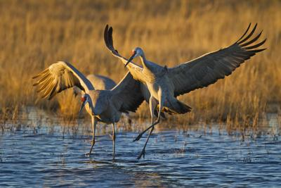https://imgc.allpostersimages.com/img/posters/sandhill-cranes-landing-bosque-del-apache-nwr-new-mexico-usa_u-L-PN6O6K0.jpg?p=0