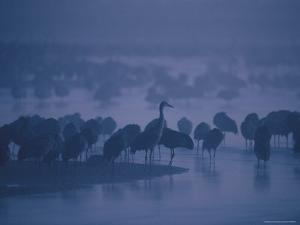Sandhill Cranes Roost in the Platte River on a Foggy Morning