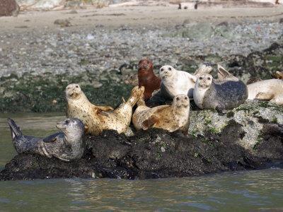 Californian Sealions Waking Up on Rocks in San Francisco Bay, California, USA