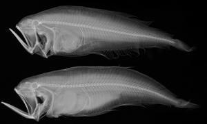 Bothid Flatfish by Sandra J. Raredon