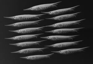 Grooved Razorfish by Sandra J. Raredon