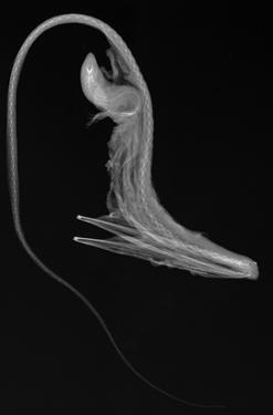 Pelican Eel by Sandra J. Raredon