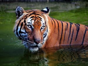 Intense Tiger Gaze by Sandra L. Grimm