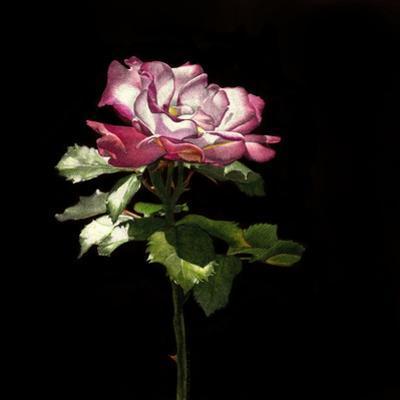 Evening Rose by Sandra Willard