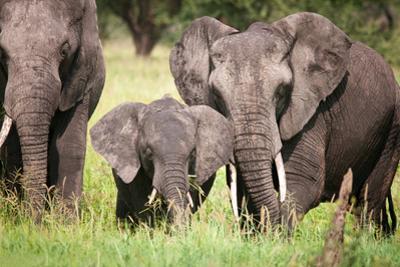 Elephant family in Tanzania by Sandra Young