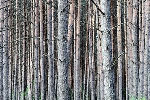 Birch Woods by Sandro de Carvalho