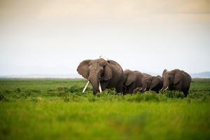 African Elephant Herd at Sunset in Amboseli National Park, Kenya by Santosh Saligram