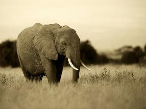 African Elephant in Amboseli National Park, Kenya by Santosh Saligram