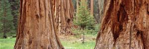 Sapling Among Full Grown Sequoias, Sequoia National Park, California, USA