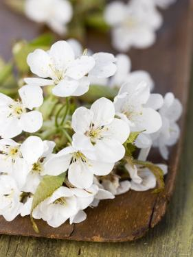 Cherry Blossom on a Wooden Board by Sara Deluca