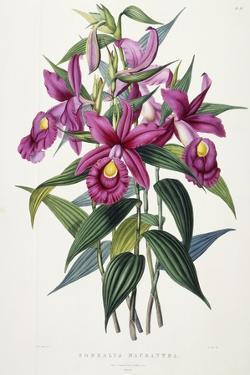 Sobralia Macrantha, C.1837-43 by Sarah Ann Drake