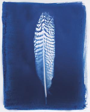 Pheasant Feather by Sarah Cheyne