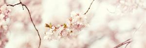 Cherry Blossom by Sarah Gardner