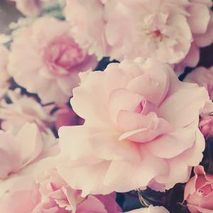 Pink Blossoms I by Sarah Gardner