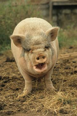 Domestic Pig, Pot-bellied sow, standing on straw, with mouth open by Sarah Rowland