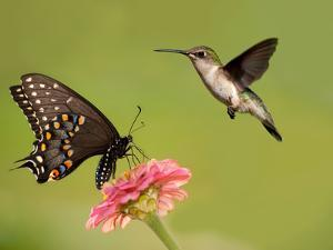 Black Swallowtail Butterfly Feeding On Pink Flower With A Hummingbird Hovering Next To It by Sari ONeal