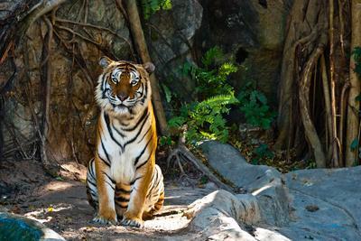 Female Wild Tiger From Thailand