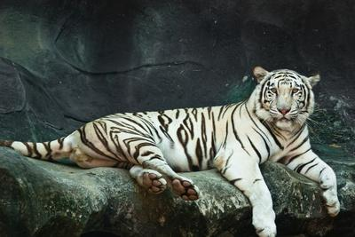 Female Wild White Tiger from Thailand