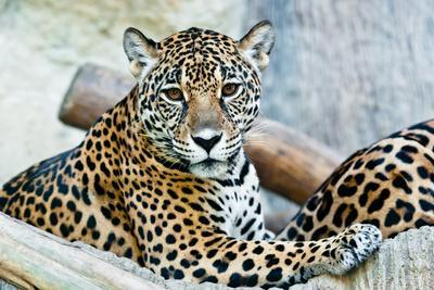 Wild Leopard