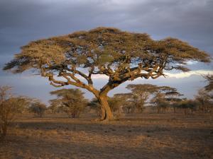 Acacia Tree, Serengeti, Tanzania, East Africa, Africa by Sassoon Sybil