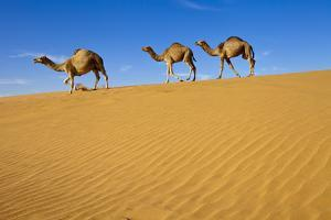 Camels Walking on Sand Dunes by Saudi Desert Photos by TARIQ-M