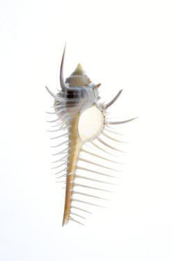 Carit's Murex shell. Sea snail. by Savanah Plank