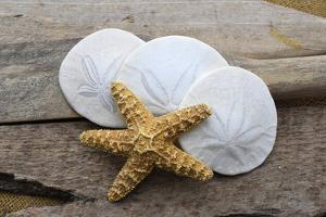 Sand dollar and starfish still-life by Savanah Plank