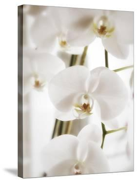 White Orchids by Savanah Plank
