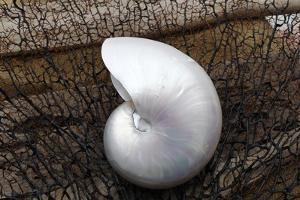 Whole Pearl Nautilus Shell by Savanah Plank