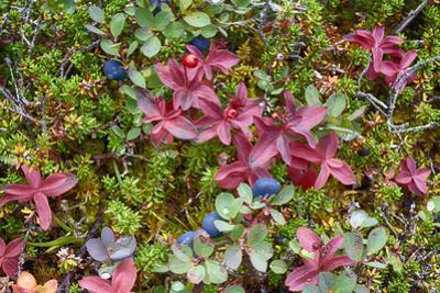 Alaska, Hatchers Pass. Bunch Berry and Low-Bush Blueberry