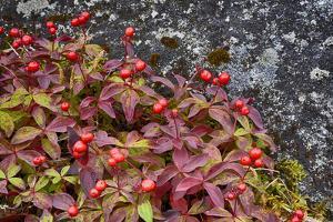 Alaska, Hatchers Pass, Bunch Berry by Savanah Stewart