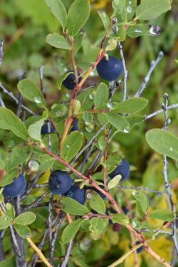 Alaska, Hatchers Pass, Low Bush Blueberry by Savanah Stewart
