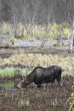 Alaska, Moose Off Seward Highway Near Girdwood by Savanah Stewart