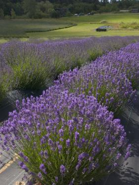 Lavender Farm, San Juan Islands, Washington, USA by Savanah Stewart