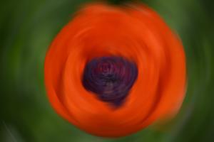 Orange Poppy by Savanah Stewart