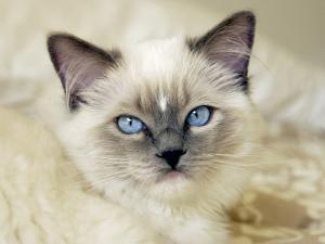 Ragdoll Kitten by Savanah Stewart
