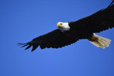 USA, Alaska, Southeast, Ketchikan, Bald Eagle