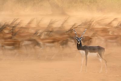 Black Bucks by Sayyed Nayyer Reza