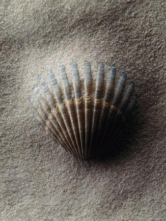 https://imgc.allpostersimages.com/img/posters/scallop-shell-in-sand_u-L-PXZ0AE0.jpg?p=0