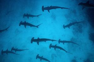 Scalloped Hammerhead Sharks These Sharks Congregate