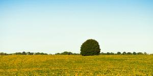 Scenic view of lone tree in canola field, Ontario, Canada